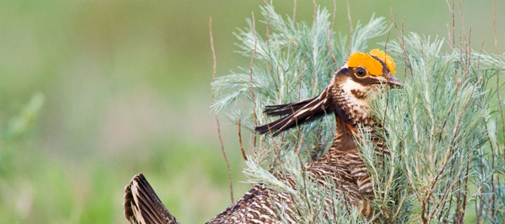 Lesser Prairie Chicken. Photo by Noppadol Paothong.