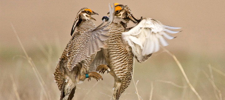 Two Male Lesser Prairie Chickens fight over a territory. Photo by Noppadol Paothong.